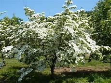 arbuste croissance rapide primavera acquariomio s