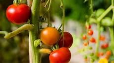 ist tomate eine frucht tomate so gesund ist die frucht