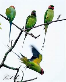 Gambar Zul Ya Birds Peninsular Malaysia 2012 Burung Bayan