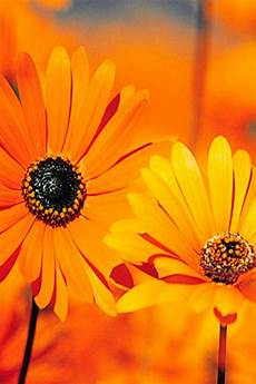 Orange Flowers Iphone Wallpaper orange sun flower iphone wallpaper 640x960 150966