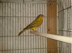 canarini alimentazione pre ornitologia thoby s world