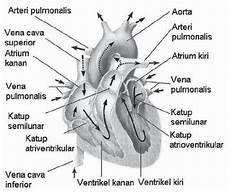 Sistem Peredaran Darah Pada Manusia Pengertian Darah
