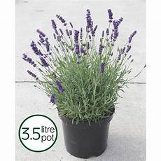 Lavender Hidcote Plants Thompson