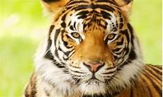 bengal tiger panthera tigris tigris endangered animals