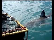 gabbia squali immersione in gabbia con lo squalo bianco