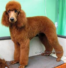 10 brilliant ways to advertise poodle hairstyles poodle hairstyles natural hairstyles