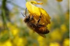 Biene Malvorlagen Xing Biene Auf Rapsblumen Stockbild Bild Hintergrund