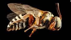 bienen niedrigere klassifizierungen patched bumblebee is declared endangered cnn