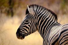 zebra bild charakter zebra foto bild africa southern africa