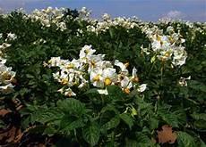 kartoffeln pflanzen im august kartoffel potato solanum tuberosum essbare pflanzen