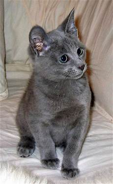 blue cats cats and kittens russian blue