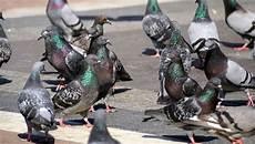 Tauben Vertreiben So Werden Sie Die V 246 Geln Vom Balkon Los