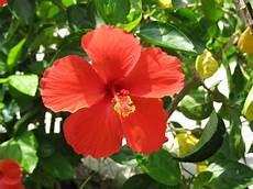 flor cayena del estado trujillo 161 vamos pa barranquilla julio 2013