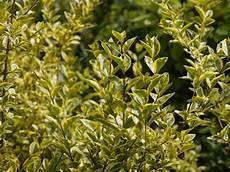 Haie De 15 Arbustes Persistants Fermeture Visuelle Toute