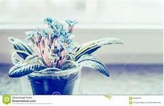 fiori da davanzale primula in vaso di fiori sul davanzale su