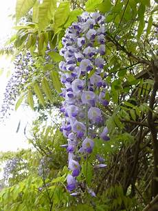 Climbing Plant Shade climbers for every occasion part 1 and early