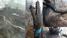 Dan Foto Viral Anaconda Mati Terpanggang Saat