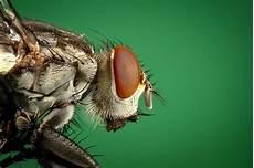 chasser les mouches chasser les mouches comment s y prendre
