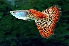 Gambar Ikan Guppy Binatang Peliharaan