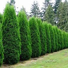 arborvitae emerald green affordable trees