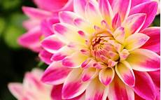 flower wallpaper for background dahlia desktop wallpaper pixelstalk net