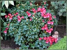 arbustes à fleurs rouges les fleurs de mon jardin mon evasion nature