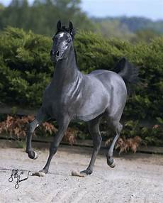 cavallo pomellato 25 b 228 sta grey horses id 233 erna p 229 h 228 h 228 st