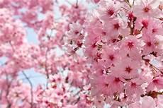 sfondi fiore fiori di pesco foto stock 169 olgysha 24030403