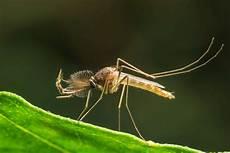 werden mücken vom licht angezogen stechm 252 cken erfolgreich bek 228 mpfen vertreiben plantura