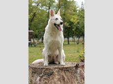 New Breed ? White Swiss Shepherd Dog!   CAW Blog