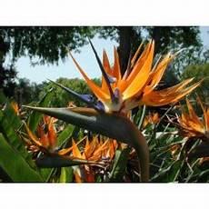 ave flor del estado guarico semillas de flor ave del para 237 so strelitzia reginae