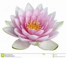 fiore loto fiore di loto immagine stock immagine di colorful
