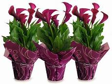 Calla Pflanze Pflege - beautiful calla lilies indoor qb87 roccommunity