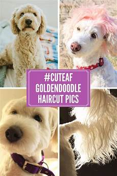 image result for types of goldendoodle haircuts cute goldendoodle haircuts and styles that will make you swoon