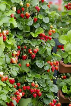 Gardening Strawberries by Top 10 Fruits You Can Grow In Containers Page 7 Of 10