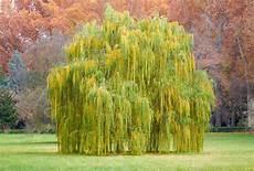 Salix Babylonica Weeping Willow