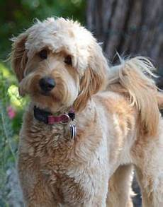 images puppy cut for a goldendoodle led pet collar blue l goldendoodle haircuts goldendoodle grooming labradoodle grooming