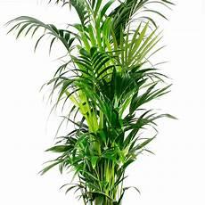kentia palme kaufen 123zimmerpflanzen