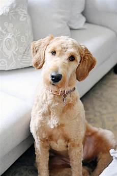 goldendoodle haircut my favorite dog doodle and scenes from my week goldendoodle haircuts goldendoodle grooming dog haircuts