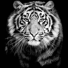 15 gambar harimau hitam putih sugriwa gambar
