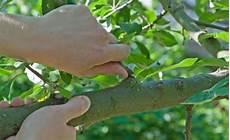 bis wann darf bäume schneiden obstb 228 ume schneiden 10 tipps mein sch 246 ner garten