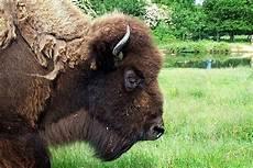 bison fute bison fut 233 paperblog