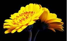 flower wallpaper for pc yellow gerbera flower wallpaper pc wallpapers13