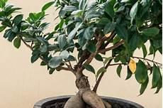 Ficus Ginseng Bekommt Gelbe Bl 228 Tter 187 Woran Liegt S