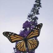Tips For Butterfly Gardens  Home Guides SF Gate