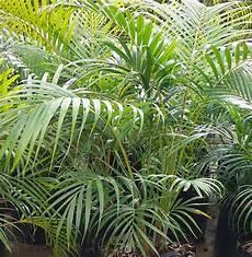 zimmerpflanzen groß pflegeleicht pflegeleichte zimmerpflanzen die auch sehr frisch und