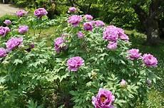 pivoine arbustive en pot que faire au jardin en ce mois de mai 2015 jardiner