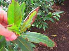 kirschlorbeer prunus mit braunen bl 228 ttern ursache