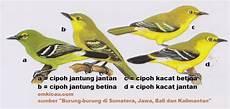 10 Perbedaan Burung Cipoh Sirpu Sirtu Jantan Dan