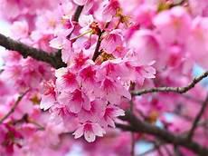 fior di ciliegio fiore di ciliegio significato dei fiori